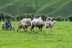 Motorradschäfer, der Kamele weiden lässt Lizenzfreie Stockbilder