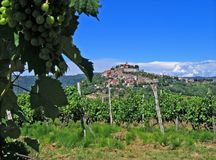 Motovun, Croatia, with grapes. Hilltop village of Motovun, Istria, Croatia, with vineyard Royalty Free Stock Photo