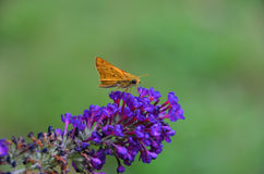 Motte auf Blume Lizenzfreie Stockfotos