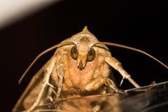 Motte auf einem Schreibtisch Stockfotografie