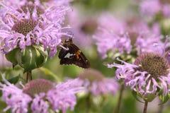 Motte auf Monarda-fistulosa (wilde Bergamotte) Lizenzfreies Stockbild