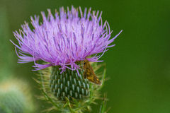 Motte auf purpurroter Blume stockfotos