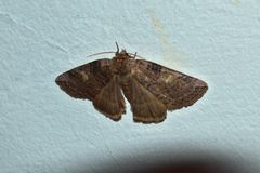 Motte auf Wand unter Blitzlicht Stockfotografie