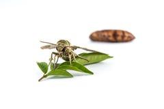 Motte (Daphnis-nerii) auf dem Blatt und den Puppen Stockbild