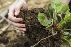 Motte de terre noire de sol chez des mains de la femme Image stock