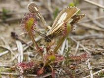 Motte eingeschlossen von Sundew Lizenzfreies Stockfoto