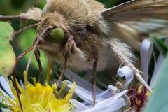 Motte mit hellgrünen Augen verlängert lange Zunge stockfotografie