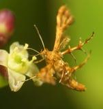 Motte mit sonderbaren Flügeln Lizenzfreies Stockfoto