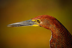 Motteled Rufescent Tiger-Heron, Tigrisoma lineatum, detail portrait of bird with long bill, in the nature habitat, Pantanal, Brazi Royalty Free Stock Photo