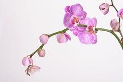 Motten-Orchidee (Phalaenopsis Orchidaceae) Lizenzfreies Stockbild