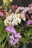 Motten-Orchideen - Phalaenopsis Lizenzfreies Stockbild