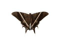 Motten, vlinder stock afbeelding