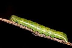 Mottengleiskettenfahrzeug der Achateule (Phlogophora-meticulosa) Stockbilder