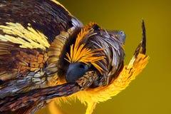 Mottenhauptmakro Stockbild