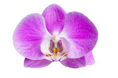 Mottenorchidee - Phalaenopsis Stock Foto's