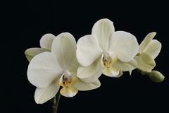 Motth Orchid Royalty Free Stock Photos
