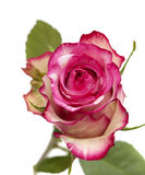 Mottle green and magenta rose Stock Images