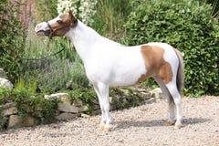 Mottle miniature horse in the garden Stock Images
