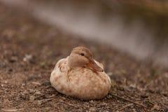 mottled утка Стоковое фото RF