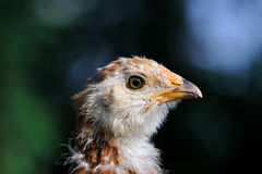 Mottled Baby Chicken Close-Up Royalty Free Stock Photo