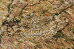 Mottled Beauty Moth royalty free stock photography