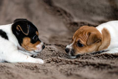 Mottled, brown and white Jack Russell puppies. Animal close-up. Mottled, brown and white Jack Russell puppies royalty free stock images