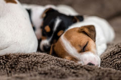 Mottled, brown and white Jack Russell puppies. Animal close-up. Mottled, brown and white Jack Russell puppies stock photography