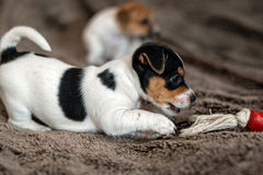 Mottled, brown and white Jack Russell puppies. Animal close-up. Mottled, brown and white Jack Russell puppies royalty free stock image