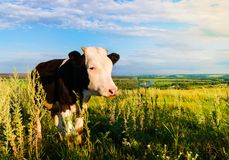 Mottled calf grazes in meadow sunny summer day Stock Image
