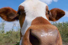 Mottled calf muzzle closeup Royalty Free Stock Photo