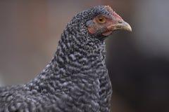 Mottled chicken Stock Photo