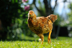 Mottled Chicken Walking in the Yard Royalty Free Stock Image