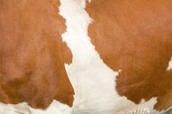 Mottled Cow Royalty Free Stock Images