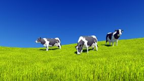 Mottled dairy cows graze on green meadow. Mottled dairy cows graze on the farm meadow covered with fresh green grass under clear blue sky at daytime. Countryside royalty free illustration