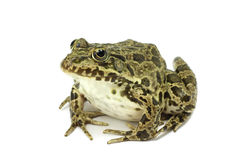 Mottled dark green frog. On white background Royalty Free Stock Images