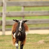 Mottled domestic goat Stock Photo