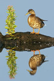 Mottled Duck. (Anus fulvigula) with blue water background and reflection Stock Photo