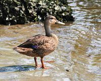 Mottled Duck - Anas fulvigula Stock Photography