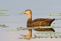 Mottled Duck (Anas Fulvigula). Mottled duck swimming in lake surrounded by lily pads Stock Image