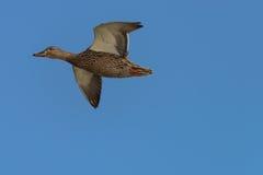 Mottled Duck. Anas fulvigula flies over the lake Stock Photo