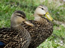 Mottled Duck (Anas fulvigula) Royalty Free Stock Images