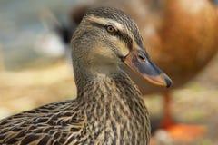 Mottled Duck. A close-up of a female mottled mallard duck Stock Images