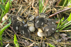 Mottled Duck ducklings. Huddled together, Gren Cay Nature Reserve, Delray Beach, Florida, USA Royalty Free Stock Images