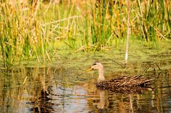 Mottled Duck and Duckweed Royalty Free Stock Image
