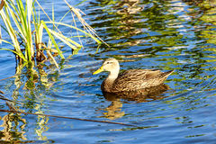 Mottled Duck. This image is of a male Mottled Duck.  The photograph was taken in early morning light at the Celery Fields near Sarasota, Florida Stock Photos