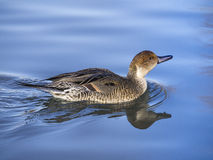 Mottled duck. Swims in the calm waters of a small pond Stock Image