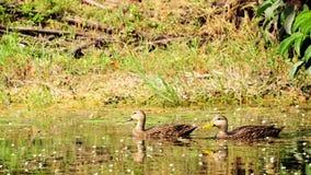 Mottled Ducks Royalty Free Stock Photos