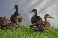 Mottled Ducks Stock Photo