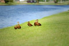 Mottled ducks Royalty Free Stock Images