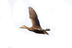 mottled fulvigula утки anas Стоковые Фотографии RF